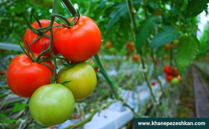 همه چیز در مورد گوجه فرنگی